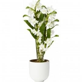 Orhidee Dendrobium Nobilé Apolon