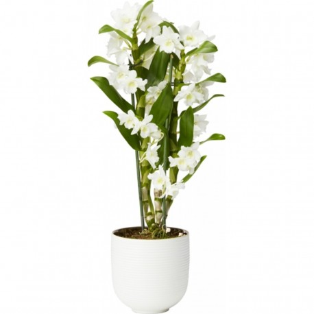 Dendrobium irene