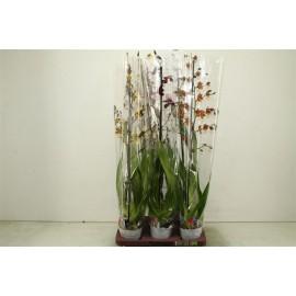 Orhidee Cambria 80 cm