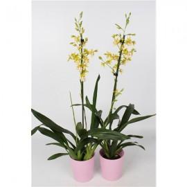 Orhidee Oncidium Pupukea (Parfumata)
