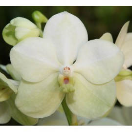 Orhidee Vanda Tayanee White