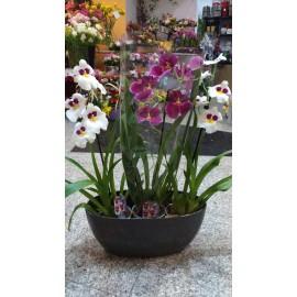 Aranjament floral Phalaenopsis
