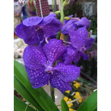Orhidee Vanda Vanda Dark Blue
