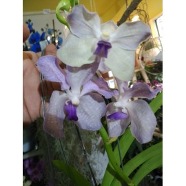 Orhidee Vanda Lavander Mist