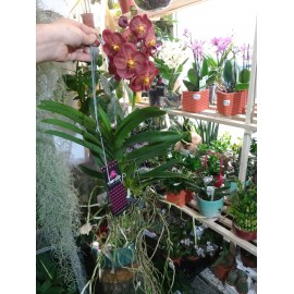 Orhidee Vanda Sumanthi Cornalina