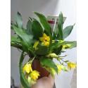 Orhidee Promenaea Sunlight