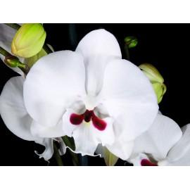 Orhidee Phalaenopsis Reyoung Prince