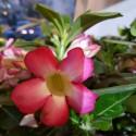 Trandafirul Desertului- Adenium Obesum