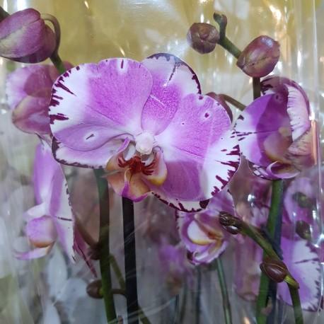 Phalaenopsis Flame