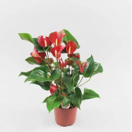 Anthurium Dynamite Red