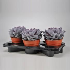 Planta suculenta Echeveria 'Purple Pearl' XL
