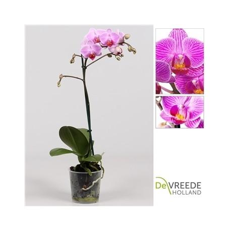 Phalaenopsis Anthura Manchester