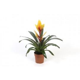 Vriesea Evita - Bromelia