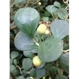 Ficus deltoidea Olivia