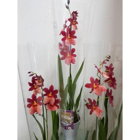 Orhidee Burrageara (Oncidopsis) Nelly Isler