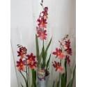 Orhidee Burrageara Nelly Isler