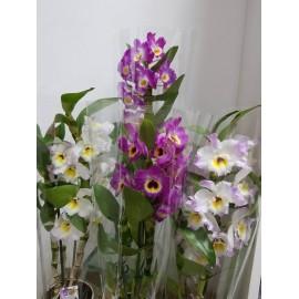 Dendrobium Nobile Special mix