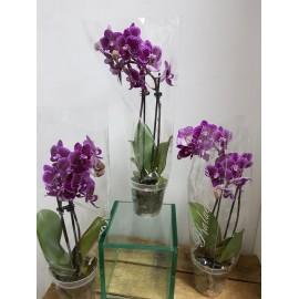 Orhidee Phalaenopsis multiflora PROMO