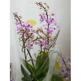 Orhidee Phalaenopsis Multiflora Wild roz