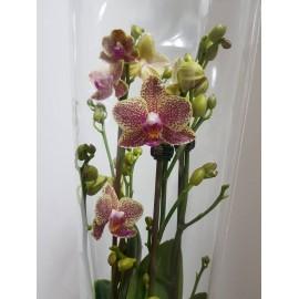Orhidee Phalaenopsis Multiflora Little Kolibri