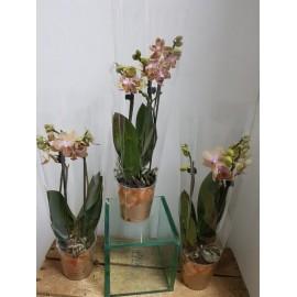 Orhidee Phalaenopsis Multiflora kolibri