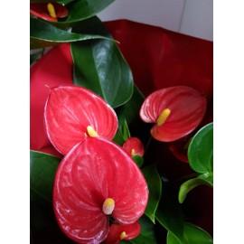 Anthurium petit
