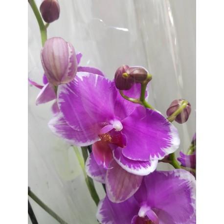 Orhidee Phalaenopsis Wild Edge