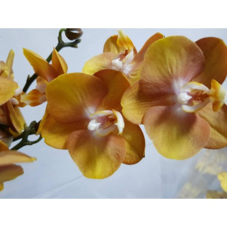 Orhidee Phalaenopsis Las Vegas
