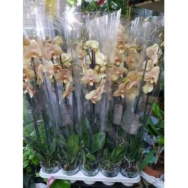 Orhidee Phalaenopsis Karina