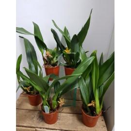 Orhidee Maxillaria Rufescens