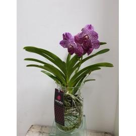 Orhidee Vanda Pink in vas de sticla