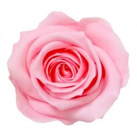 Trandafir criogenat Baby Pink