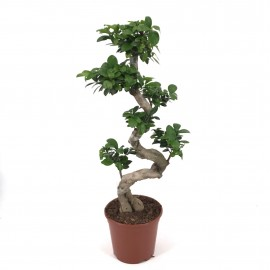 Bonsai Ginseng S Shape