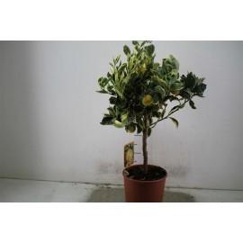 Portocal altoit - Citrus sinensis variegatum