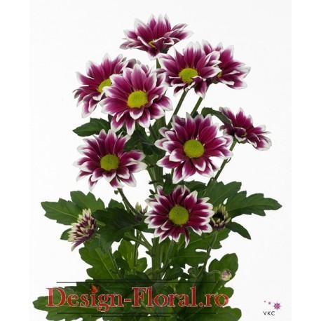 Crizanteme Olanda