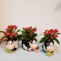 "Aranjament ""Ferdinand"" cu Euphorbia Milli"
