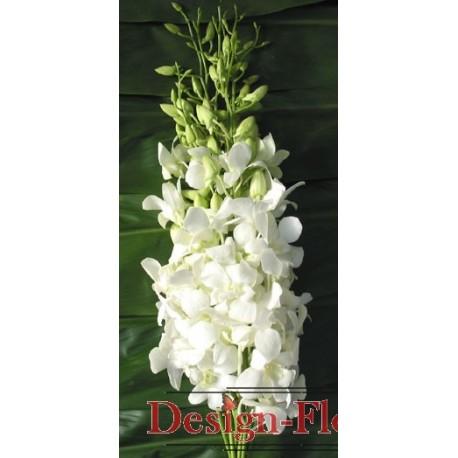 Orhidee Dendrobium