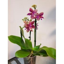 Orhidee Phalaenopsis Liodoro