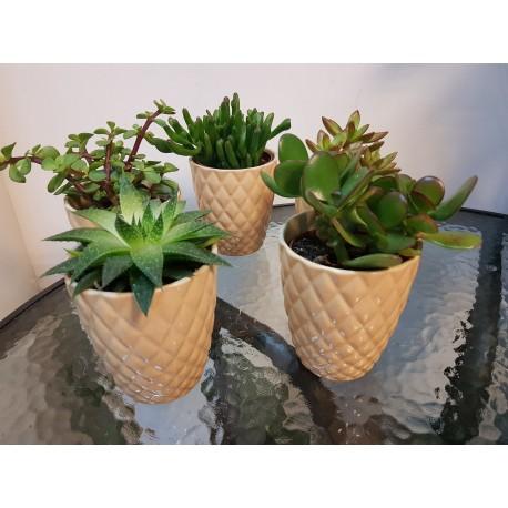 Planta suculenta in vas ceramic
