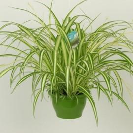Chlorophytum-Planta paianjan