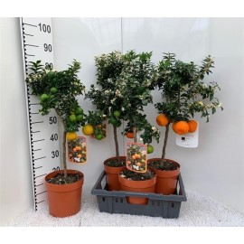 Mandarin in ghiveci Chinoto Citrus Myrtifolia