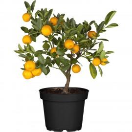 Calamondin- Mandarin decorativ