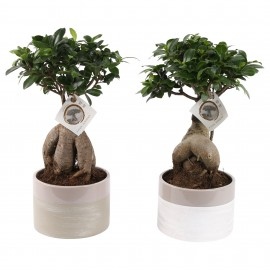 Bonsai Ginseng in vas ceramic