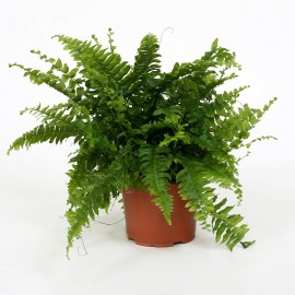 Feriga Nephrolepsis Green Moment