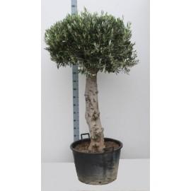 Maslin - Olea Europaea