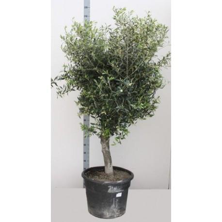 Maslin XXL - Olea Europaea