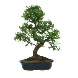 Bonsai Zelkova XL