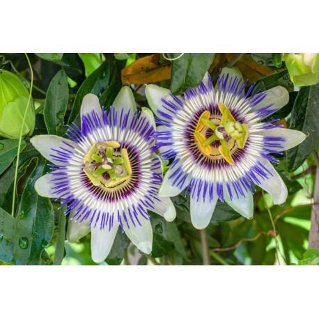 Passiflora Caerulea - Floarea Pasiunii