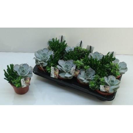 Aranjament Trio Succulent