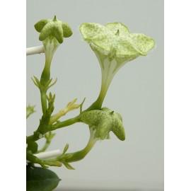 Ceropegia Sandersonii - Planta Parasuta